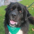 Roscoe is an energetic, affectionate, and very exuberant 18 month-old Newfoundland mix male who is one giant puppy. He was a recent owner surrender at […]