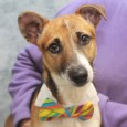 Snickers is a 2 year-old Jack Russell Terrier mix male who came to us from an overcrowded county dog shelter so we have no history […]