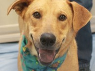 Star is a very friendly and sociable 1-2 year-old Lab/Shepherd mix female with a cute purple polka-dotted tongue who found herself homeless at an overcrowded […]