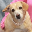 Daisy is a very sweet and affectionate 2 year-old Beagle mix female who found herself homeless at an overcrowded rural county dog shelter. We don't […]