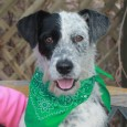 Holiday is a very cute 1.5 year-old Terrier/Lab mix male who came to Canine Lifeline from an overcrowded county dog shelter as a stray. It's […]