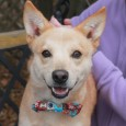 This handsome dog with the adorable smile is Judge. He's a 1.5 year-old Cattledog mix male with a sweet face reminiscent of a Shiba Inu. […]