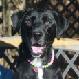 Sadie is a beautiful 6 year-old Lab mix female who came to us from a local county dog shelter after having been surrendered by her […]