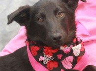 Sage is a very sweet 8 month-old Collie mix girl who came to us along with her big sister Skye from an overcrowded rural county […]