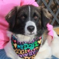 Tully is a very handsome 1-2 year-old Spaniel/Collie mix with pretty markings and a sweet disposition. He came into an overcrowded rural county dog shelter […]