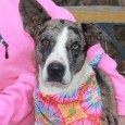Winnie is a 1.5 year-old Catahoula mix female with beautiful markings and a great disposition. She came to us from an overcrowded rural county shelter […]