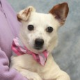 Wizard is an adorable 4-5 year-old Jack Russell Terrier with just the right amount of energy. He's super-cute with his little ears and bobtail but […]