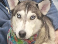 Abby is a beautiful 1 year-old Husky who not only found herself homeless at a local county dog shelter but also tested positive for heartworms […]
