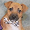 Astro is a very cute 10 week old Rat Terrier mix pup who came to Canine Lifeline along with his mom Sydney (tri-colored dog in […]