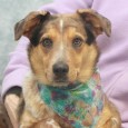 Becca is a very beautiful 10 month-old Aussie/Catahoula mix female with gorgeous markings. We don't have any history on this girl as she came to […]