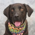 We just can't say enough good things about Beau! This very handsome 1 year-old Lab mix male (with a bobtail!) is as kind and loving […]