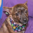 This little brindle beauty is Buster, a 9 month-old Pomeranian/Boston Terrier mix male who is a busy boy. He was adopted from a shelter before […]