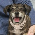 Cammie is an 11 year-old Puggle female who recently lost her home along with her pal Daisy Mae, a Jack Russell Terrier mix, because her owner had health issues and could no longer care for them. Cammie and Daisy Mae […]