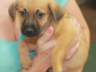 Carter is a sweet little Heinz-57 puppy who was born on Nov 18. His mom Lacey came to us a week before as a very […]