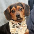 Charlie Brown is an adorable 8 month-old Beagle/Shih Tzu mix male who was turned into an overcrowded county dog shelter right before Christmas along with […]