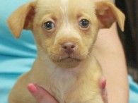Clancy is a sweet little Heinz-57 puppy who was born on Nov 18. His mom Lacey came to us a week before as a very […]