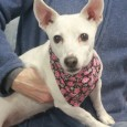 Daisy Mae is a 9 year-old Jack Russell mix female who recently lost her home along with her pal Cammie, the Puggle, because her owner had health issues and could no longer care for them. Daisy Mae and Cammie have […]