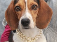 No one but no one wears pearls better than our little adoptable Beagle Eleanor! This 2 year-old little lady was found as a stray and […]