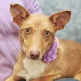Fawn is a sweet 1 year-old girl who is aptly named as she really does look like a little fawn complete with her coloring, large […]