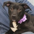 Hannah is a very sweet and loving 10 month-old pup who came to Canine Lifeline from an overcrowded county dog shelter so she would have […]