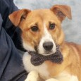 Hatch is a 1-2 year-old Collie mix male who's very shy and timid in new situations. We don't have any history on this boy as […]