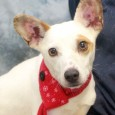 Houston is a very cute 1-2 year-old Jack Russell/Rat Terrier mix male with distinctive ears. He came to us from a rural county dog shelter […]