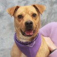 This girl with the winning smile is Jasmine, a 3 year-old Boxer mix who's a great size at only about 35 pounds. She has good […]