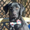 Joey is a handsome 1 year-old Lab/Weimaraner mix male who was adopted from a shelter as a pup and returned recently because he was too big and strong for his elderly owners. He was terrified at the shelter and not […]