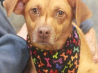 Lovely Lacey is a very sweet and kind 2 year-old Beagle/Terrier mix girl who came to us from a rural county dog shelter about a […]