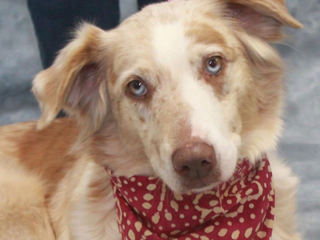 Lady is a gorgeous 6 year-old Aussie who was surrendered to a shelter by her family who was moving and didn't want to take her […]