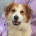 Layla is a very pretty 3 year-old Aussie/Border Collie mix female who was surrendered to a county dog shelter by her owners when they became […]
