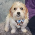 This super-cute little guy is Linus, an 8 month-old Shih Tzu/Beagle mix male who was turned into an overcrowded county dog shelter right before Christmas […]