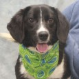You're going to want to keep your jogging shoes handy if you adopt Miles, an active and energetic 1 year-old Border Collie/Beagle mix male. This […]