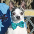 Mo is an adorable 8 year-old Boston Terrier/Chhihuahua mix male who came to us via a local shelter from a horrendous hoarding situation. Mo isn't […]