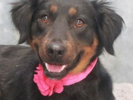 Nina is a beautiful 3 year-old Border Collie/Retriever mix female who was surrendered to a rural county dog shelter by her family after they became […]