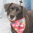 Olive is a beautiful but shy 3 year-old Black Lab mix who was sad to find herself homeless at a rural county dog shelter. […]