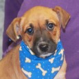 Orbit is a very sweet 10 week old Rat Terrier mix pup who came to Canine Lifeline along with his mom Sydney (tricolored dog in […]