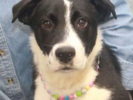 Looking to become more active in 2018, then Patsy might be the dog for you! This adorable 11 month-old Border Collie/Mountain Cur mix female with […]