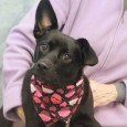 This sweet and loving 1 year-old girl with the crazy mismatched ears is Pepper. Pepper came to us from an overcrowded rural county dog shelter […]