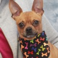 Meet Poncho, a super-cute and charming 2.5 year-old Pug/Chihuahua mix male who was surrendered to an overcrowded county dog shelter by his owner who was […]