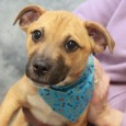 Presley is a very sweet and lovable 3-4 month-old Pug mix male who was found along the side of a road in KY with his […]