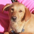 This little beauty is Rusty, a 10 month-old Lab mix female. She came to us from an overcrowded county dog shelter so we have no […]