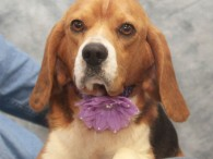 Sally is a super-sweet 2-3 year-old Beagle girl who came into a rural county dog shelter as a stray with Ned who is thought to […]