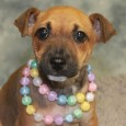 Spice is an adorable 10 week old Rat Terrier mix pup who came to Canine Lifeline along with her mom Sydney (tri-colored girl shown […]