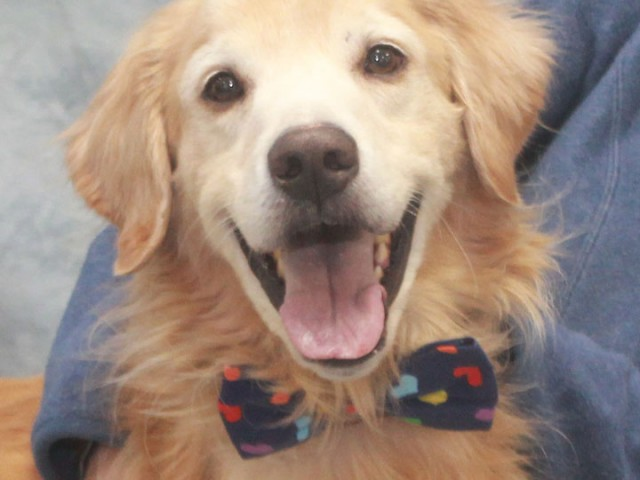 Yoshi is an incredibly sweet 7-8 year-old Golden (mix?) who's had a rough time of it lately but is on the mend and ready to […]
