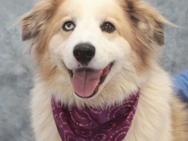 Meet Apricot, a beautiful 3 year-old Great Pyrenees/Aussie mix female with one blue and one brown eye. Hard to believe that this gorgeous girl came […]
