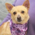 Bella is a shy but very sweet 3 year-old Chihuahua mix female who was an owner surrender at an overcrowded rural county dog shelter. We […]