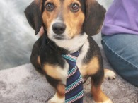 Dax is a handsome 2 year-old boy who looks like the perfect mix of Beagle and Dachshund. He found himself homeless at a rural county […]