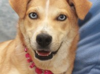 This blue-eyed beauty is Emma, a lovely 7-8 month-old all-American mutt who might have some Cattledog, Beagle, Aussie, and who knows what else in her […]