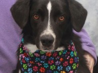 Marlin is a 3 year-old Border Collie/Lab mix male and a true gentleman! We don't understand how in the world this great dog was an […]